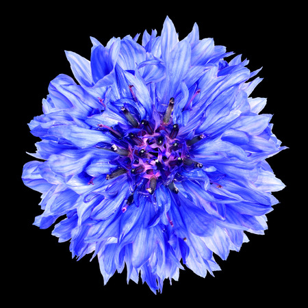 flowerhead: Blue Cornflower Flower Isolated on Black Background . Centaurea cyanus flowerhead wildflower on plain background