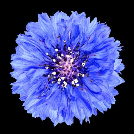 flowerhead: Blue Cornflower Flower Isolated on Black Background . Centaurea cyanus flowerhead wildflower on plain background