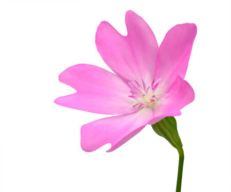 five petals: Pink WildFlower with Green Stick Isolated on White Background. Flower has five petals and has unusuall shape