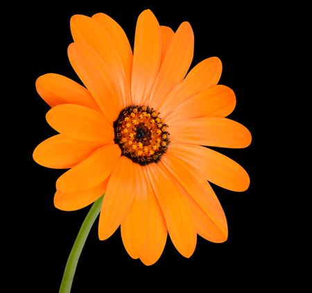 officinalis: Blossoming Orange Pot Marigold Flower with Green Stick - Beautiful Calendula officinalis in Full Bloom Isolated on Black Background. Stock Photo