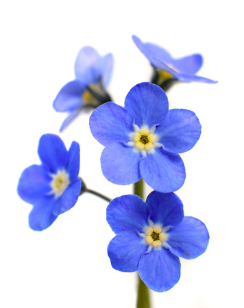 Forget-me-not Victoria Blue Flower Isolated on White Background 스톡 콘텐츠