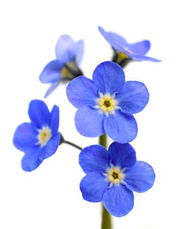 Vergeet-me-niet Victoria Blue Flower geïsoleerd op witte achtergrond