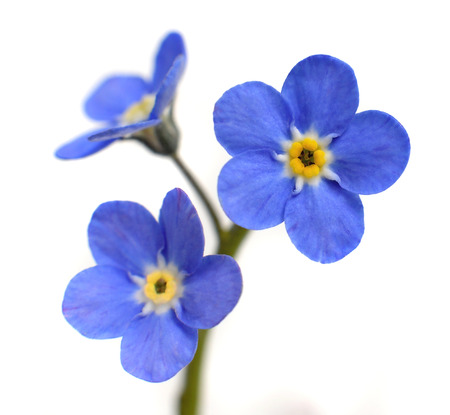 Forget-me-not Victoria Blue Flower Isolated on White Background Archivio Fotografico