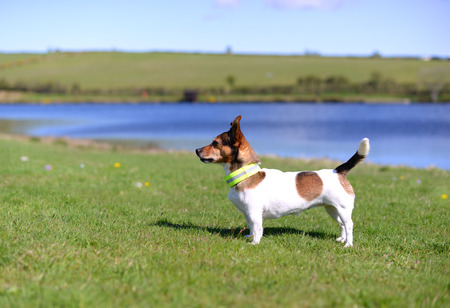 jack russel: Cute Little Tricolored Jack Russell Terrier Standing on Grass on the Lake Shore Watching Stock Photo