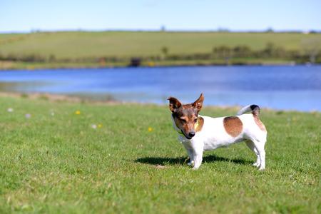 かわいい小さなトリコロール ジャック ・ ラッセル ・ テリア湖の岸に草の上に立って 写真素材