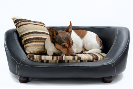 穏やかな白い背景に分離された豪華な犬のベッドに横たわっているかわいいジャック ラッセル テリア