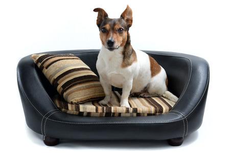 白背景に分離された高級犬ベッドの上に座ってかわいいジャック ラッセル テリア 写真素材