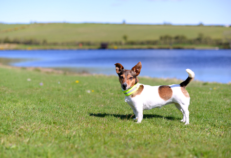 looking directly at camera: Cute Little Tricolored Jack Russell Terrier Standing on Grass on the Lake Shore and it is looking directly into the Camera