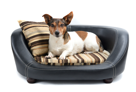 Cute Jack Russell Terrier Lying Calm on Luxury Dog Bed Isolated on White Background Stockfoto