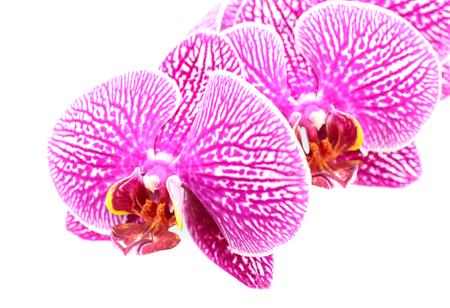 白い背景に分離されたマクロの閉じるから蘭の花の開花花