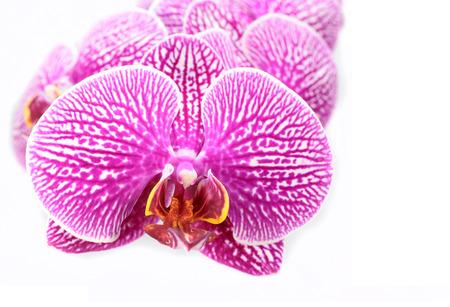蘭の開花の花の白い背景で隔離のクローズ アップ マクロ 写真素材