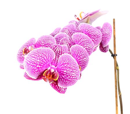 マクロ白い背景に分離された蘭の開花の花のクローズ アップ