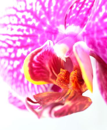 蘭の唇、列、喉が白い背景で隔離のマクロのクローズ アップ