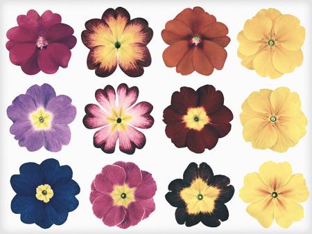 12 カラフルな桜草分離白の背景上のコレクションです。かわいい探して赤、オレンジ、黄色、ピンク、青の月見草の花の選択。花がぼろぼろ sheek ヴ