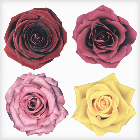 4 ローズ花は、白い背景で隔離。花がぼろぼろ sheek ヴィンテージやレトロなスタイルです。 写真素材