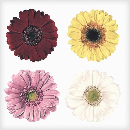 4 新鮮な赤、ピンク、黄色と白のガーベラ花は、白い背景で隔離。花がぼろぼろ sheek ヴィンテージやレトロなスタイルです。 写真素材
