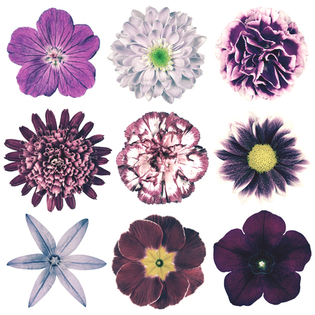 closeup of pink daisy with: Selection of Various Flowers in Purple Vintage Retro Style Isolated on White Background. Daisy, Chrystanthemum, Cornflower, Dahlia, Iberis, Primrose, Gerbera, Rose.