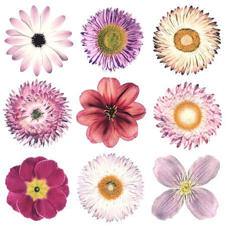 La selección de varias flores en estilo retro vintage rosa aisladas sobre fondo blanco. Daisy, Chrystanthemum, aciano, Dalia, Iberis, Primrose, Gerbera, Rose. Foto de archivo - 47752501