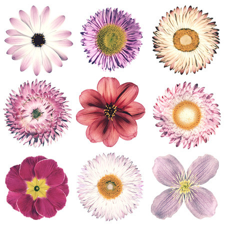 daisies: Selection of Various Flowers in Pink Vintage Retro Style Isolated on White Background. Daisy, Chrystanthemum, Cornflower, Dahlia, Iberis, Primrose, Gerbera, Rose.