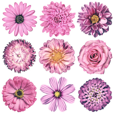 closeup of pink daisy with: Selection of Various Flowers in Pink Vintage Retro Style Isolated on White Background. Daisy, Chrystanthemum, Cornflower, Dahlia, Iberis, Primrose, Gerbera, Rose.