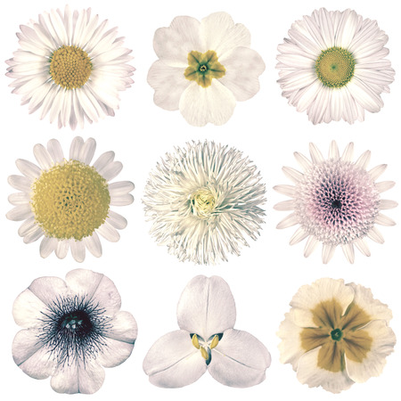 white flowers: Selection of Various Flowers in White Vintage Retro Style Isolated on White Background. Daisy, Chrystanthemum, Cornflower, Dahlia, Iberis, Primrose, Gerbera, Rose.