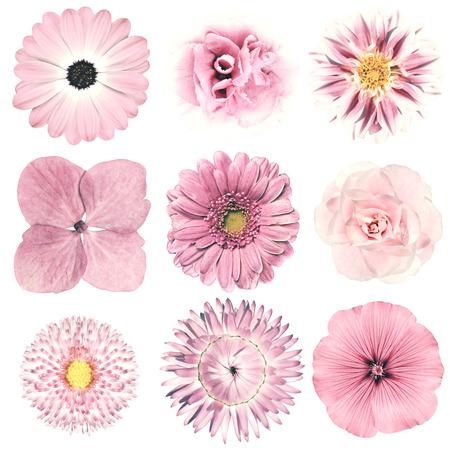 pink: Auswahl von verschiedenen Blumen in rosa Retro-Stil isoliert auf weißem Hintergrund. Daisy, Chrystanthemum, Kornblume, Dahlia, Iberis, Primrose, Gerbera, Rose.