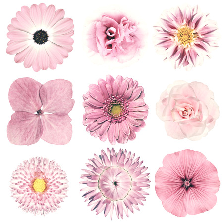 dalia: La selección de varias flores en estilo retro vintage rosa aisladas sobre fondo blanco. Daisy, Chrystanthemum, aciano, Dalia, Iberis, Primrose, Gerbera, Rose. Foto de archivo