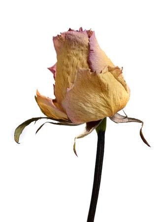 白い背景に分離された色あせた枯れた黄色いバラの花