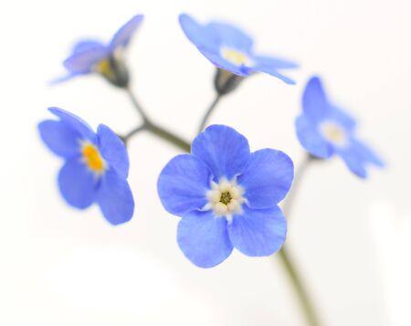 白い背景で隔離忘れな草ビクトリア ブルー花