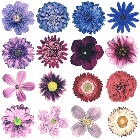 primrose: Selection of Various Flowers in Vintage Retro Style Isolated on White Background. Collection Pink, Blue, Yellow, Red, Orange, Daisy, Chrysanthemum, Cornflower, Dahlia, Primrose, Gerbera, Rose