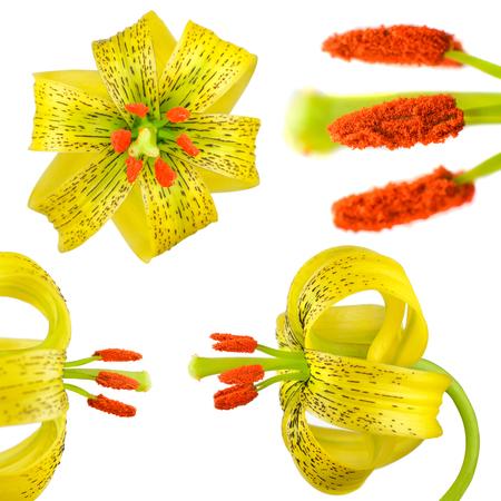 黄色のスカシユリ白地花分離 写真素材