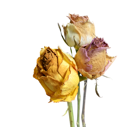 Three Faded Withered Rose Flowers Isolated on White