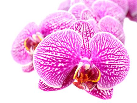 白で隔離の蘭の花のクローズ アップ 写真素材