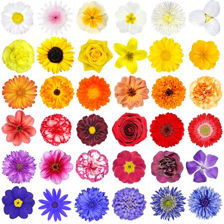 Big Collection of White, Yellow, Orange, Red, Purple and Blue Wild Flowers Isolated on White Background. Various rainbow set of Dahlia, Dandelion, Daisy, Gerber, Marigold Flowers
