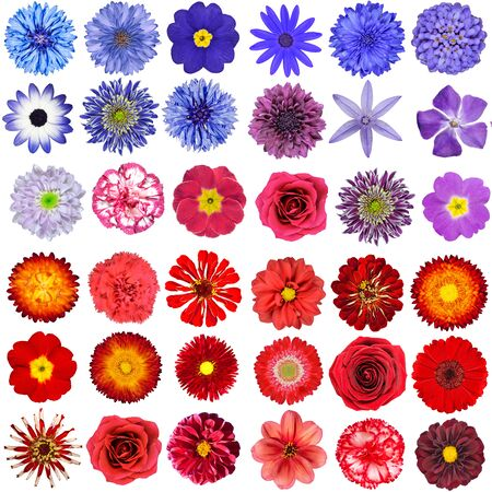 Big Collection of Red, Purple and Blue Wild Flowers Isolated on White. Various set of Dahlia, Dandelion, Daisy, Gerber, Marigold Flowers