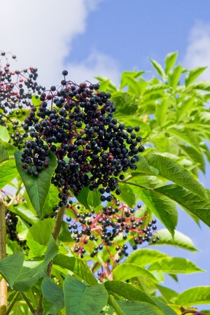 elder tree: White clouds in blue sky and a elderberry shrub with berries