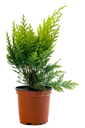 thuja: A Thuja seedling in a pot printed on a white background. Stock Photo