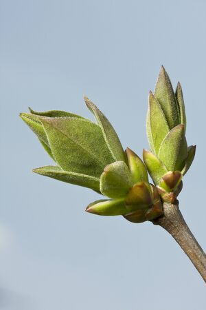 A opening privet bud in the spring, photographed against the sky