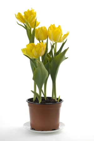 Yellow tulips in a flower pot on a white background