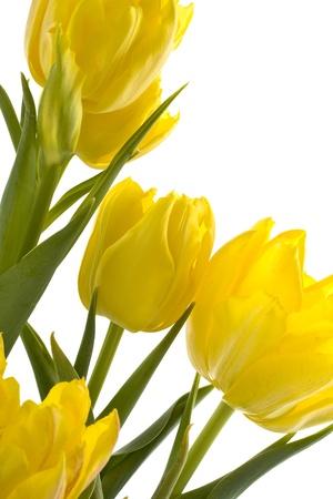 frhling: Gelbe Tulpen auf einem weißen Hintergrund abgebildet Stock Photo