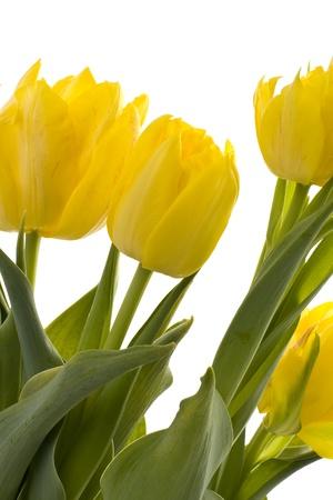 Pflanzen: Gelbe Tulpen auf einem wei�en Hintergrund abgebildet