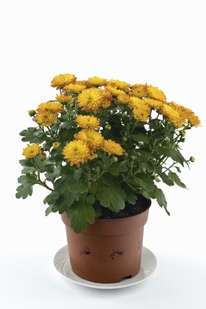 A flower pot of chrysanthemums on a white background shown. Stock Photo