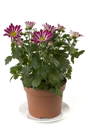 A flower pot with chrysanthemums on a white background shown  Stock Photo