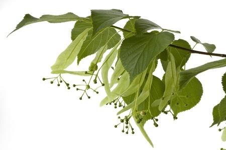 tilo: Una rama florida de un tilo en un fondo blanco se muestra.