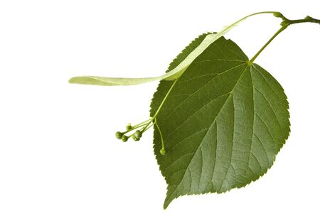 The leaf of a linden tree on a white background shown.