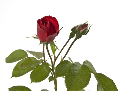A red climbing rose with flowers and rose buds on a white background free  Stock Photo