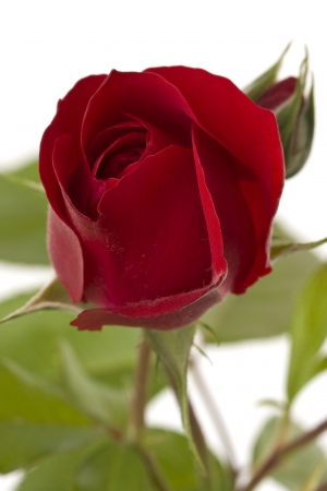 A red climbing rose on a white background shown