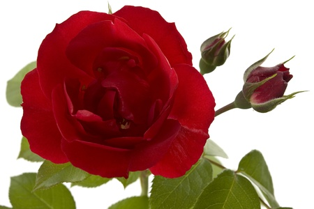 A dark red climbing rose on a white background free