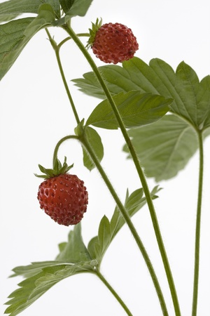 A wild strawberry on a white background shown.