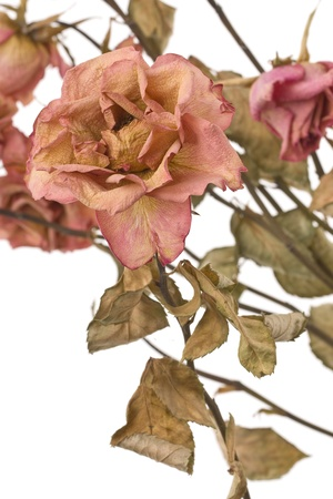 A dried rose depicted on a white background. Stock Photo